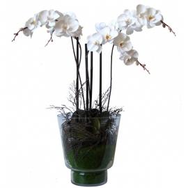 vaso orchidea  phalaenopsis