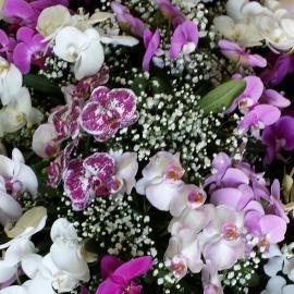 Copribara phalaenopsis multicolor