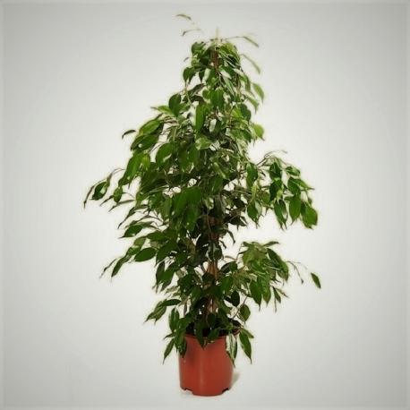 Exceptional Ficus Benjamin