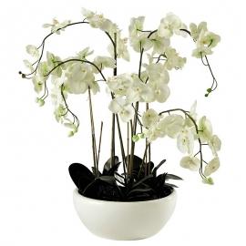 caspot phalaenopsis