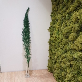 FOXTAIL FERN LIGHT GREEN