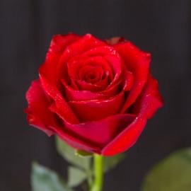 Fascio di rose rosse h70-80 quantità a scelta