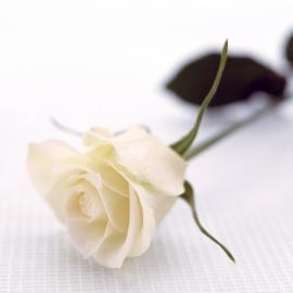 Fascio di rose bianche h70-80 quantità a scelta