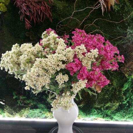 Wax flower, fiore di cera o Chamelacium