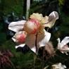 Pianta orchidea  paphiopedilum