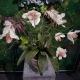 CYMBIDIUM SPRAY plant 3 FL  YELLOW