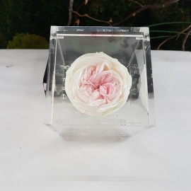 FLOWERCUBE 8X8 ROSA INGLESE GREEN LIGHT PINK