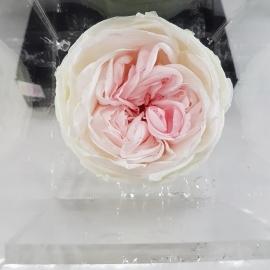 FLOWERCUBE 8X8 ROSA INGLESE GREEN LIGHT PINK