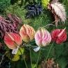 fiori di Anthurium piccolo