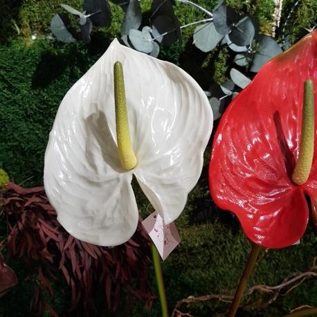 fiori di Anthurium grande