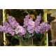 Viola a ciocca STOCK SPRAY X 2 pink