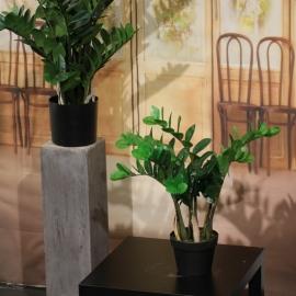 Zamifolia X 5 W/66Lvs  Plastic, In Einf. Plasticpo