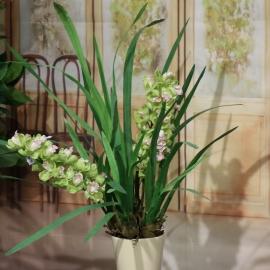 CYMBIDIUM SPRAY plant 2 FL  GREEN