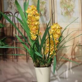 CYMBIDIUM SPRAY plant 2 FL  YELLOW