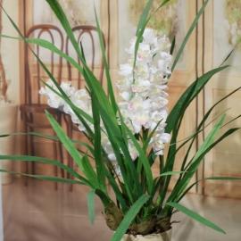 CYMBIDIUM SPRAY plant 2 FL  WHITE