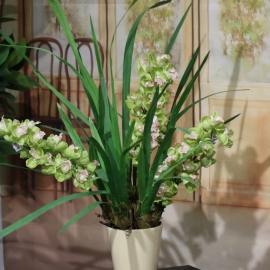 CYMBIDIUM SPRAY plant 3 FL  GREEN